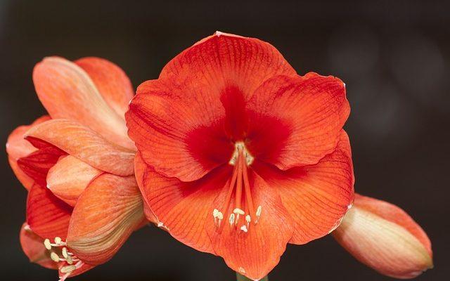 Güzel Hatun Çiçeği – Amaryllis