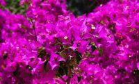 Gelin Duvağı Çiçeği