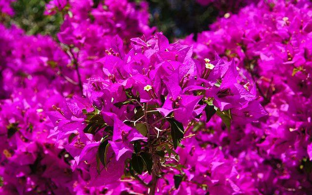 Gelin Duvağı Çiçeği – Begonvil