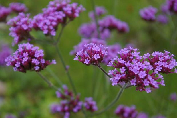 Gölge seven yer örtücü bitkiler