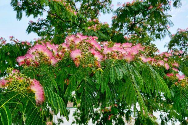 Gülibrişim Ağacı
