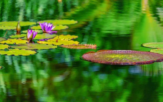 Kökü Suda Yetişen Bitkiler – Su Bitkileri Nelerdir?