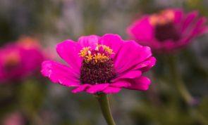 Zinya çiçeği
