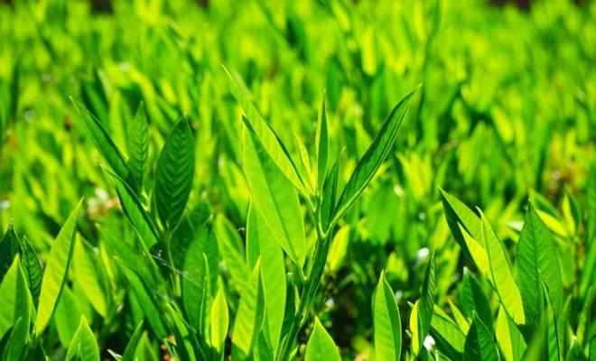Defne Yaprağı Nasıl Yetiştirilir?