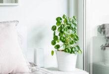 Pilea çiçeği